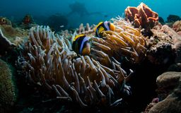 Hiding Anemone Fish Royalty Free Stock Photo