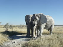 Two elephants standing in Etosha Namibia Royalty Free Stock Images