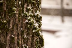 Hiding behind a moss covered tree in winter stock photo