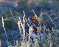 Hiding Blue Grouse Stock Photography