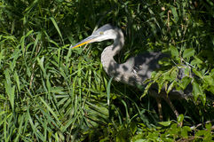 Hiding Blue Heron Royalty Free Stock Photography