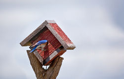 Hiding bluebird Stock Photography