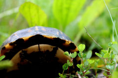 Hiding box Turtle Stock Image