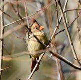 Hiding cardinal do norte fotografia de stock