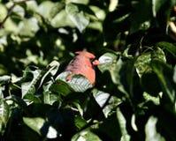 Hiding cardinal en un árbol foto de archivo