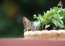 Hiding Cat Royalty Free Stock Image