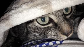 Hiding cat. Green eyes blue white polka dot fur blanket hiding place Stock Photos