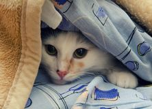 Hiding Cat. Little cat hiding under the sofa covers Royalty Free Stock Image