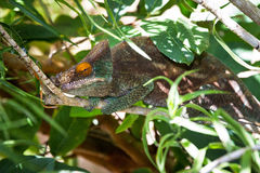 Hiding chameleon Royalty Free Stock Photography