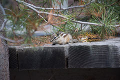 Hiding Chipmunk Royalty Free Stock Photography