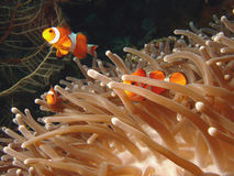 Hiding Clown Fish. Vibrant soft corals and Clown fish darting amongst the stinging tenticles of the Sea Anomone stock images