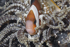 Hiding clownfish. A close up on a clownfish in between the tentacles of a anemone, Sulawesi, Indonesia Stock Photos