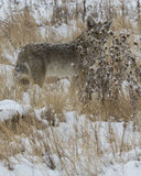 Hiding. Coyote in the snow hiding behind the tall grass Stock Image