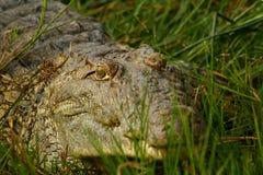 Hiding Crocodile in the grass. Closeup shot of a crocodile hiding in the grass along a river bank stock photos