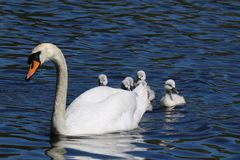 Hiding Cygnets. A family of young mute swan Cygnus olor cygnets hiding behind the mother swan on a blue lake in Springtime. The cygnets are about 10 days old royalty free stock images