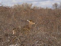 Hiding Deer Stock Photos