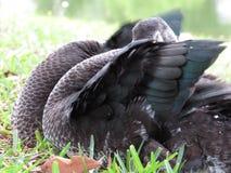 Hiding duck Stock Photography