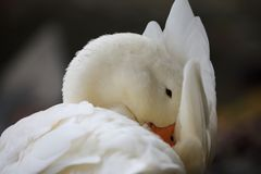 Hiding. Duck on the lake shore shielded by wing Royalty Free Stock Photos