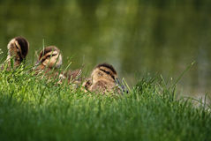Hiding ducklings Stock Image