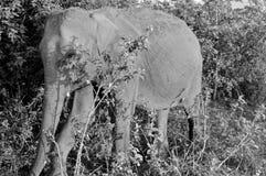Hiding Elephant. A baby elephant hiding in a National Park in Sri Lanka stock photos