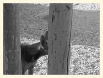 Hiding face. Dog hiding his face be hide a pole Royalty Free Stock Photo