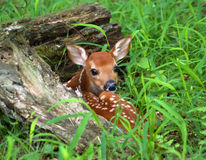 Hiding Fawn Royalty Free Stock Images