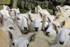 Hiding in the flock. Close up of a tightly bunched  flock of sheep with ewes looking to camera Stock Photos