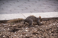 Hiding Food. Squirrel at a Park in NY, hiding some food during winter Royalty Free Stock Image