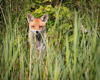 Hiding fox. Fox with pointy ears in sunlight hiding in tall green grass looking at camera royalty free stock photo