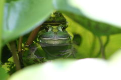 Hiding Frogs. Two frogs hiding in a patch of lily pads Royalty Free Stock Photos