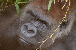 Hiding gorilla. A young male western lowland gorilla hides in the grass Stock Photo