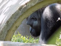 Hiding gorilla. A gorilla hiding out to get her munchies on at the district of Columbia Royalty Free Stock Photos
