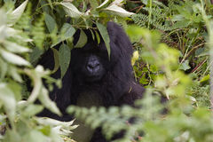Hiding Gorilla in Rwanda. A gorilla almost hiding in the forest of Volcanoes National Park, Rwanda stock photo