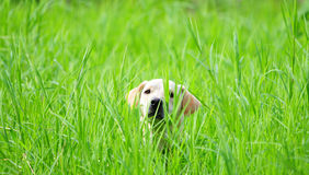 Hiding in the grass. Beautiful Labrador retriever female hiding in the green tall grass waiting for her owner Stock Image