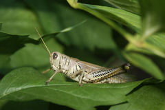 Hiding Grasshopper Stock Photos