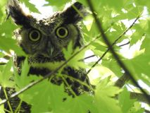Hiding great horned owl royalty free stock photo