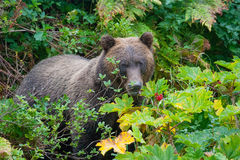 Hiding grizzly Stock Photography