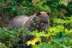 Hiding grizzly Stock Image