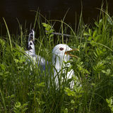 Hiding gull Stock Photos