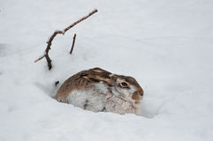Hiding hare Stock Photography