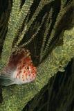 Hiding hawkfish Stock Images