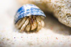 Hiding Hermit Crab Stock Image