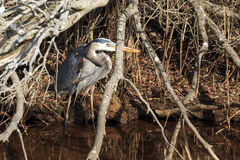 Hiding Heron Royalty Free Stock Photo