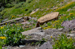 Hiding in Hidden Lake Trail, Glacier National Park, Montana, USA Stock Photography