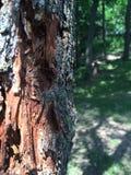 Hiding. Behind the tree bark Royalty Free Stock Image