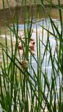 Hiding hippo. Hippo hiding in the water behind grass Royalty Free Stock Image