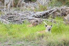 Hiding Hyena in Kenya Royalty Free Stock Photos