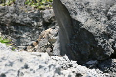 Hiding Iguana Royalty Free Stock Photos
