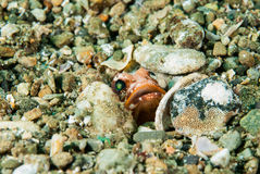 Hiding jawfish in Ambon, Maluku, Indonesia underwater photo Royalty Free Stock Photography