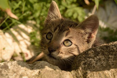 Hiding Kitten. A young gray tabby tom playfully hiding behind rocks Stock Photo